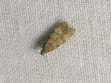 0998   Pseudotelphusa paripunctella  045.jpg