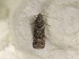 0999   Teleiopsis diffinis  002.jpg