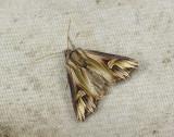 2988   Actinotia polyodon  145.jpg