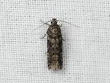 0999   Teleiopsis diffinis  018.jpg
