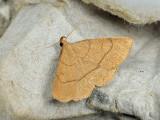 Herminiinae