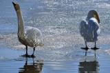 Dancing at the Swan Lake