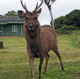 Deer, Horton Plains
