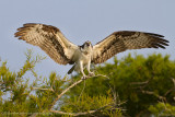 Osprey on Blue Cypress Lake