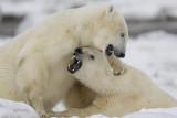 Polar Bears 2011
