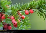 Irish Yew (Alm. Taks / Taxus baccata)