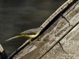 Grey Wagtail female