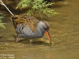 Secretive and shy Water Rail