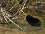 Water Rail chick