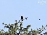 Spanish Imperial Eagle - Aquila adalberti - Aigle Ibérique