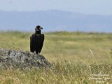 Eurasian Black Vulture - Aegypius monachus - Vautour moine