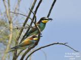 European Bee-eater - Merops apiaster - Guêpier d'Europe