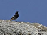 Black Redstart - Phoenicurus ochruros - Rougequeue noir