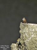Rock Bunting - Emberiza cia - Bruant fou