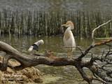 Western Cattle Egret - Bubulcus ibis - Héron gardeboeufs