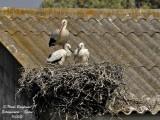 White Stork - Ciconia ciconia - Cigogne blanche