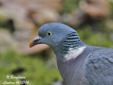 COMMON WOOD PIGEON - COLUMBA PALUMBUS - PIGEON RAMIER