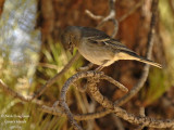Blue Chaffinch female