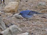 Blue Chaffinch male