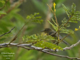 Canary Islands Chiffchaff