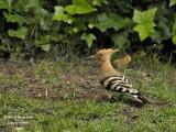 Hoopoe foraging