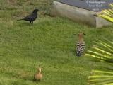 Hoopoe and Blackbird