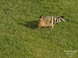 Hoopoe probing into the soil