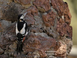 Teneriffa's Great Spotted Woodpecker female