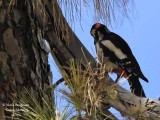 Teneriffa's Great Spotted Woodpecker male