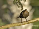 Canarian Blackbird female head disease