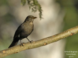 Canarian Blackbird female