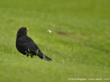 Canarian Blackbird male