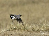 NORTHERN WHEATEAR - OENANTHE OENANTHE - TRAQUET MOTTEUX