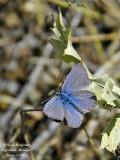 GENUS POLYOMMATUS - Unknown species