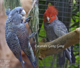 Gang gang Cockatoo pair