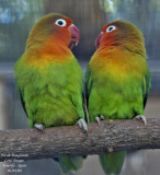 Fisher's Lovebirds