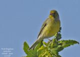 TENERIFE BIRDS - LES OISEAUX DE TENERIFE