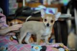 Silver male Chihuahua puppy $500