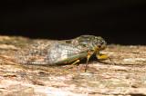 Psaltoda claripennis