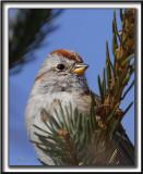 BRUANT HUDSONIEN /  AMERICAN TREE SPARROW     _MG_0200 a