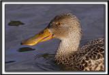 CANARD SOUCHET, femelle    -   NORTHERN SHOVELER  female     _MG_2390 a
