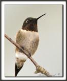 COLIBRI À GORGE RUBIS, mâle    /   RUBY-THROATED HUMMINGBIRD, male    _MG_0854 a