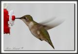 COLIBRI À GORGE RUBIS, femelle    /   RUBY-THROATED HUMMINGBIRD, female    _MG_0748 a