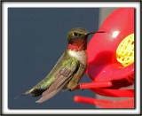 COLIBRI À GORGE RUBIS, mâle    /   RUBY-THROATED HUMMINGBIRD, male    _MG_2944 a