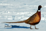 Rooster pheasant