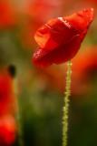 20110616 - Poppied Again