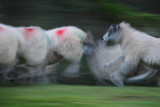 20111126 - The Sheeplechase