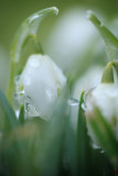 20120211 - Ice Drops on Snowdrops