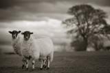 20120217 - Two Sheep