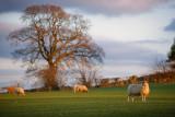 20120229 - Golden Sheep